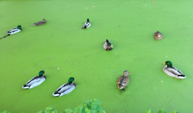 3 Duckweed